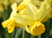 Division 12 daffodil - 'Cornish Chuckles'