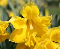 Division 11 daffodil - 'Kingsize'