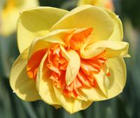 Division 4 daffodil - 'Kiwi Sunset'