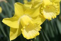 Division 1 daffodil - 'Spellbinder'