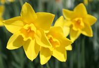 Division 7 daffodil - 'Sweetness'