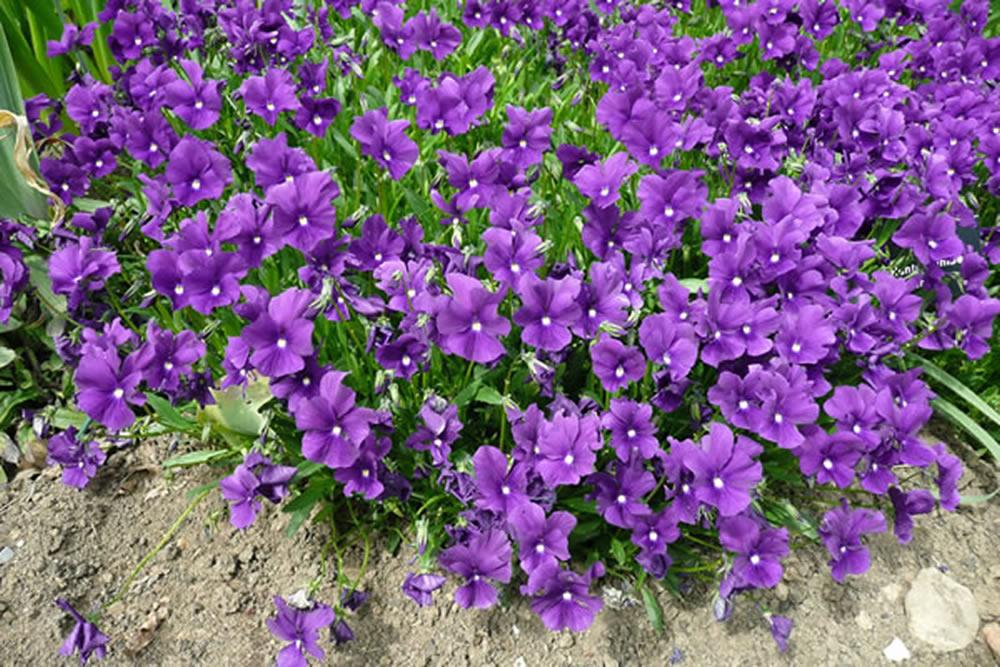 Purple flowering perennial plants credainatcon viola huntercombe purple plants oak leaf gardening mightylinksfo